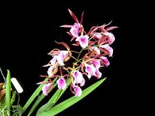 En. Jairak Treasure Cherry Bird Blooming Size, Compact Cattleya Orchid Encyclia