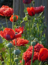 Papaver Somniferum Big Red Poppy Seeds WIZARD of OZ MIX doubles singles *Shelley