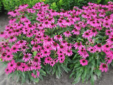 500 Purple Coneflower Echinacea Purpurpea Seeds - Gift - COMB S/H