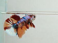 Live Male Nemo Galaxy Betta