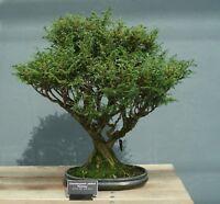 Bonsai Samen winterharter frostharter Garten Baum exotisch i! SILBER-ZYPRESSE !i