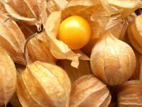 Alquejenje - PHYSALIS PERUVIANA - 15 Semillas - Fruta Jardín - Garden Fruit Semi