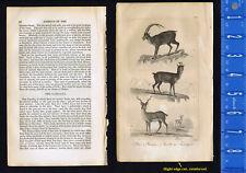Ibix, Chamois, Gazelle or Antelope - 1830 Goldsmith Engraving