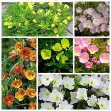 100 Evening primrose Flower Seeds 10 Kind Home Garden Charming Wonderful Plants
