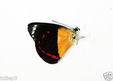 Delias Timorensis ssp (m) - Tanimbar, Indonesia