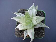 "Succulent Haworthia acuminata variegated, aka ""Grey Ghost"""