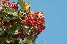 Schwedische Mehlbeere Sorbus intermedia 45 Samen VERSAND FREI !!!