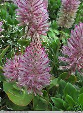Pink Mulla Mulla Seed Drought Frost Hardy Striking Flowers Arid Growing Reseeds