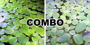 5 Amazon Frogbit + 5 Water Lettuce + 2 BONUS Live floating plant aquarium pond