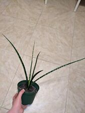 New listing Sansevieria Cylindrica Rooted Cutting Young Plant Bare Root