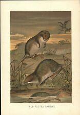 "Vintage Color Print Of ""Web-Footed Shrews"" Circa 1900 [Tenrec Or Otter Shrew]"