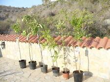 Kaki Rojo brilliante Diospyros selbstbefruchtend ca. 155 cm  Kakibaum winterhart