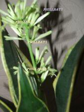 Large Mother In Law's Tongue Sansevieria Succulent house plant plant 0.5 LTR pot