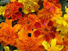 Mixed Marigold Seeds, Farm Mix, Bulk Seed, French Marigolds, Heirloom Seed 500ct
