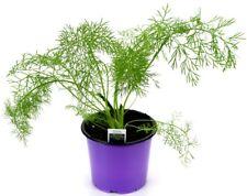 Gewürzfenchel, Fenchel Pflanze, frische Kräuter Pflanze aus Nachhaltigem Anbau