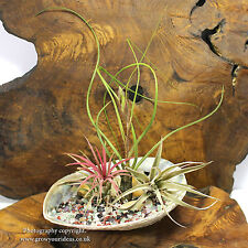 TILLANDSIA Air Plant Kit. Featuring three air plants in large abalone seashell