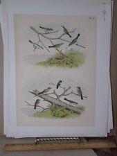 Vintage Print,HUMMINGBIRDS,Pl 100,Birds North America,Studer,1888