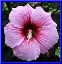 Beautiful Pink Hardy Hibiscus! 10 Seeds!  COMB S/H! SEE OUR STORE!