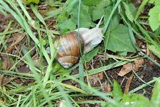 30 pieces Helix pomatia escargot snail roman snail live pet snails