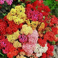 50+ Summer Pastels Achillea Mix /Flower Seeds  / Perennial