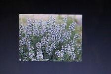 30 Samen französischer Thymian,Thymus vulgare#516