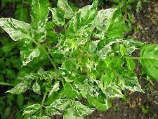 Potato Leaf Variegated Tomate - 5+ Samen - Saatgut RARITäT!