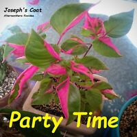 ~Party Time~ Alternanthera ficoidea COLORFUL EYE-CANDY Live Potted Starter Plant