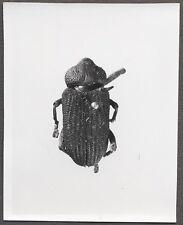 Unusual Vintage Photo Beetle Bug Scientific Specimen Entomology 258106