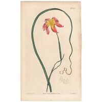 Curtis Botanical Magazine antique 1814 hand-colored engraving Pl 1612 Moraea