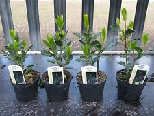 4 x Bay Laurel (Laurus Nobilis) Aromatic Leaves Evergreen Tree/Kitchen Bay