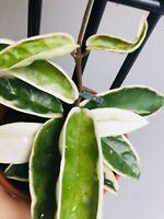 Hoya 'cv. Suzie' | Wax Plant | Uncommon | Collector