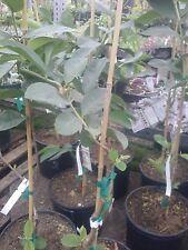Taiwan Century Guava - 1 Plant - 3 Feet Tall - Ship in 3 Gal Pot