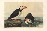 VINTAGE JOHN JAMES AUDUBON BIRD DOUBLE PAGE PRINT ~ HORNED PUFFIN
