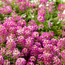 Alyssum Deep Rose - 1400 seeds - Rosie O'day - Lobularia Maritima -Annual flower