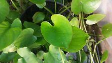 Caldesia parnassifolia extreme rare hardy water plant 2 turions