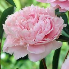 """1x Herbaceous Peony """"Sarah Bernardt"""" (Paeonia lactiflora) Chinese Rose Peonie"""