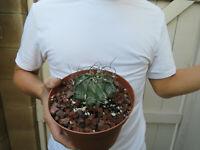 Astrophytum capricorne Cactus -B