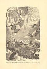 Burying Beetle, Hornet, Watchman Beetle, Dead Bird, Vintage, 1885 Antique Print