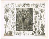 ORIGINAL ANTIQUE PRINT VINTAGE 1851 ENGRAVING BOTANY MONOCOT LILIALES