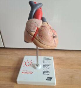 Herz ❤ Lehrmodell 1:1 Aufklappbar Medizin Studium Unterricht Modell