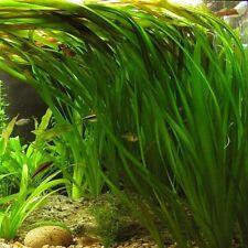 3 Vallisneria gigantea plante aquarium croissance rapide