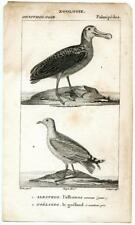 1816 Turpin Albatross Seagull Copper Engraving Antique Zoology Print