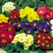 25+  PRIMULA ELATIOR GIGANTEA MIX / PERENNIAL, SHADE OR HOUSEPLANT FLOWER SEEDS