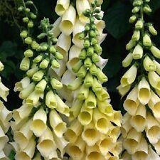 50+ FOXGLOVE YELLOW SPEAR FLOWER SEEDS / SHADE / PERENNIAL / DEER RESISTANT