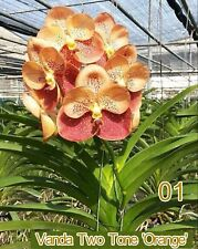 orchid vanda hybrid plant,No 1 two tone orange, blooming size,USA free ship