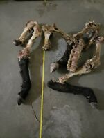 Bovine Calf Legs Hooves Bone Lot Perfect For Crafting From Wyoming