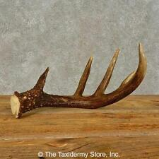 #16443 P | Whitetail Deer Taxidermy Antler Shed For Sale