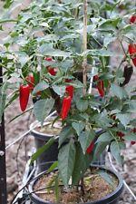 Pepper Jalapeno Medium / Hot Chilli Pepper / 20 Seeds