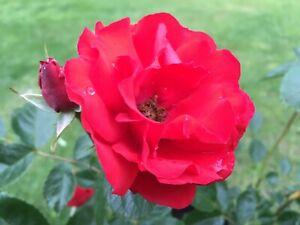 Super Elfin   Rambling Rose  7ltr Potted Rose Plant   Red