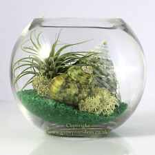 Air plant Kit glass Terrarium Green theme with green shells and Green Ionantha